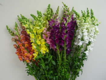 bulk wholesale flowers snapdragon