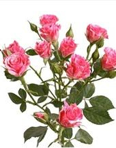 bulk wholesale spray mini roses las vegas